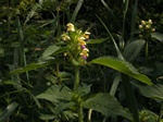 Large-flowered Hemp-nettle (Galeopsis speciosa)