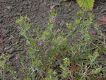 Cut-Leaved Crane´S-Bill (Geranium dissectum)
