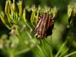 Striped Shield Bug (Graphosoma lineatum)