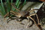 Great spider crab (Hyas araneus)