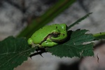 Common Tree Frog, European Tree Frog (Hyla arborea)