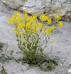 Common Winter Cress (Barbarea vulgaris)