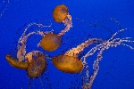 Black Sea Nettle (Chrysaora achlyos)