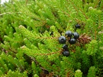 Crowberry - Crowberry Ssp (Empetrum nigrum)