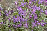 Broad-leaved Fireweed, River Beauty (Epilobium latifolium)