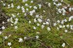 One-Flowered Wintergreen (Moneses uniflora)