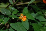 Orange Balsam (Impatiens capensis)