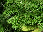 Pacific Silver Fir (Abies amabilis)