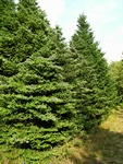 Korean fir (Abies koreana)