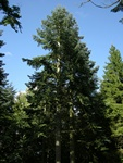 Noble Fir (Abies procera)