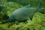 Carp bream (Abramis Brama)