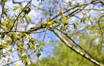 Ashleaf Maple (Acer negundo)