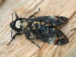 Deaths-head Hawk-moth (Acherontia atropos)