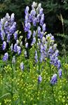 Variegated Monkshood (Aconitum variegatum)
