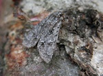 Light Know Grass (Acronicta menyanthidis)