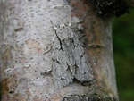 Grey Dagger (Acronicta psi)