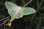 Indian Moon Moth, Indian Luna Moth (Actias selene)