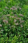 Ground Elder (Aegopodium podagraria)