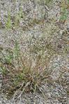 Brown Bent (Agrostis vinealis)