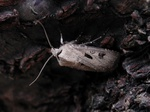 Heart and Dart (Agrotis exclamationis)