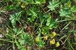 Small Lady´s-mantle (Alchemilla glaucescens)