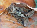 green-brindled crescent (Allophyes oxyacanthae)