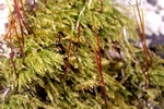 Willow Feather-moss (Amblystegium varium)