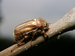 Summer Chafer (Amphimallon solstitiale)