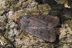 Mouse Moth (Amphipyra tragopogonis)