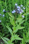 Eastern Blue Star (Amsonia orientalis)