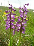 Green-Winged Orchid (Anacamptis morio)