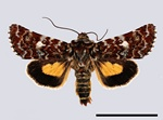Beautiful Yellow Underwing (Anarta myrtilli)