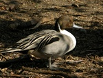 Northern Pintail (Anas acuta)