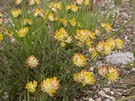 Kidney Vetch (Anthyllis vulneraria)