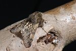 Small Brindled Beauty (Apocheima hispidaria)