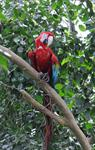 Green-winged Macaw (Ara chloropterus)