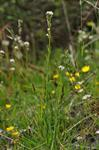 Hairy Rock-Cress (Arabis hirsuta)