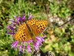 High Brown Fritillary (Argynnis adippe)