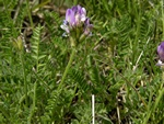 Purple Milk-Vetch (Astragalus danicus)