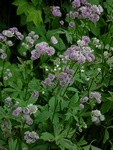 Great Masterwort (Astrantia major)