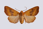 Centre-barred Sallow (Atethmia centrago)