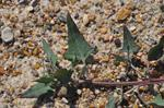 Boucher Spear-Leaved Orache  (Atriplex prostrata)