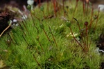 Straight-leaved Apple-moss (Bartramia ithyphylla)