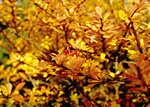 Thurnberg´S Barberry (Berberis thunbergii)