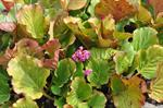 Elephant-ears (Bergenia crassifolia)