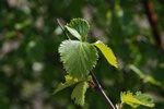Downy Birch (Betula pubescens)