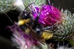Field Cuckoo-bee (Bombus campestris)