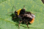 Early nesting bumblebee (Bombus pratorum)
