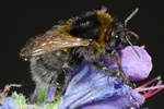 Short-haired bumble-bee (Bombus subterraneus)
