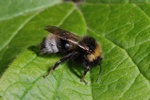 Four-coloured Cuckoo-bee (Bombus sylvestris)